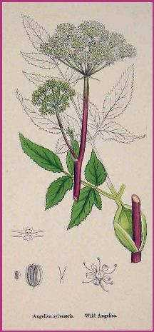 Illustration of Angelica Plant