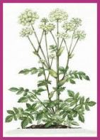 Drawing of Angelica Plant