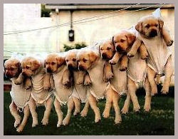Washing Line of Puppies