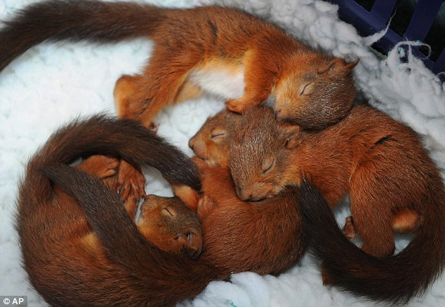 Baby Squirrels rescued