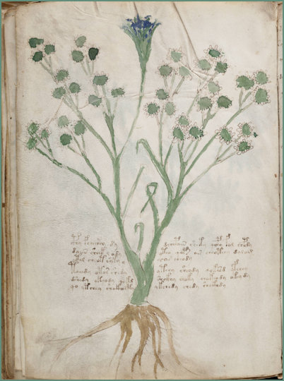 Voynich Manuscript Herbal illustrations