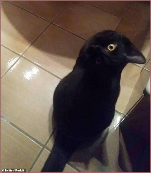 Cat or Crow